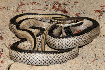 Dromicodryas is a genus of lamprophiid snake found only on the island of Madagascar. They are harmless to humans.