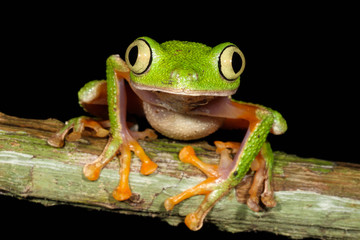 Hylomantis hulli is a species of frog in the Hylidae family. It is found in Ecuador and Peru.