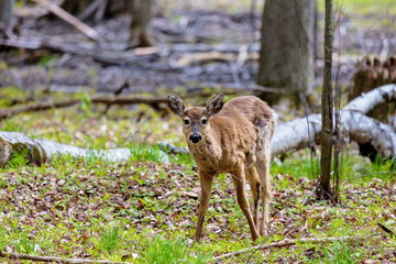 The white-tailed deer, on alert in a boreal forest in north Quebec, Canada.