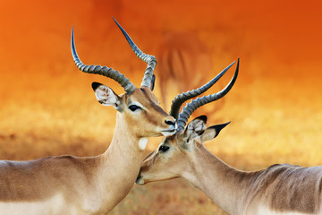 Wall Mural - Impala affection ( Aepyceros melampus ) Two male impala's having an intimate moment during a time of battle, the rutting season.