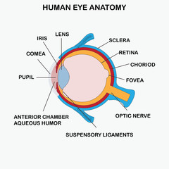Anatomy of human eye.