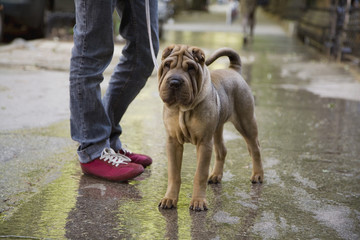 Shar Pei on leash with man standing on street