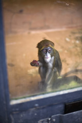 Baby monkey eating fruit in cage