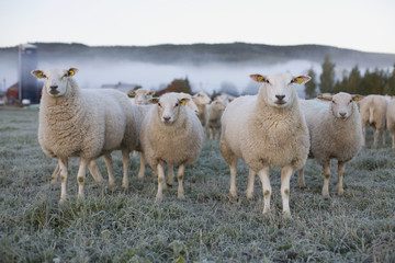 Sheep in a field on an icy morning
