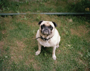 A pug sitting on the grass