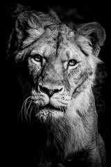 Portrait noir et blanc d'une lionne