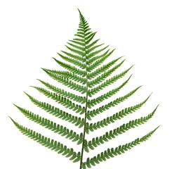 fern leaf.