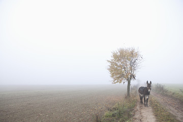 Donkey standing on road amidst field during foggy weather
