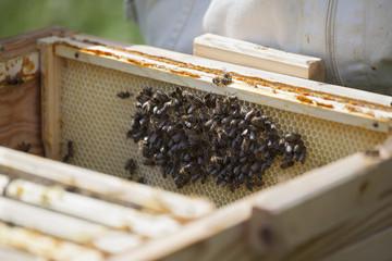 Bees on honeycomb at farm
