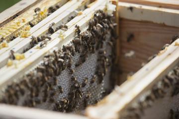 Bees on honeycombs at farm