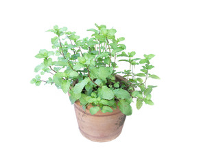 mint in flower pot on white background