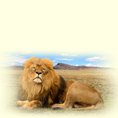 A photo of a beautiful African lion on a paper background. Sweet