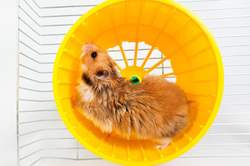 hamster running in the running wheel