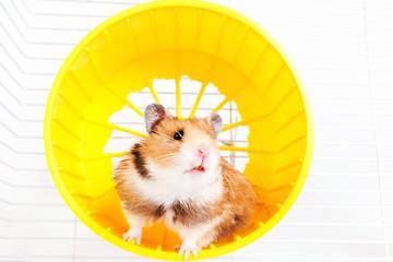 hamster running in the running wheel