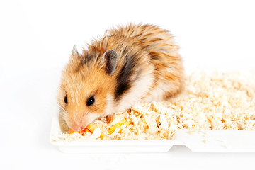 hamster sits and eats in the sawdust