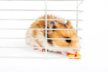 hamster sits and eats in a cage