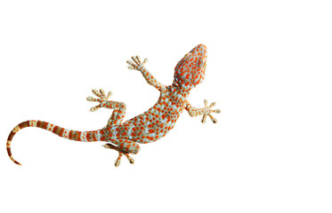 Gecko isolated with clipping path.