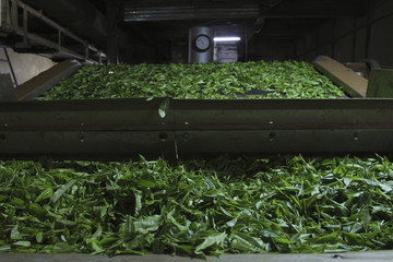 Green tea leaves on conveyor belt