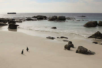 Two penguins walking on beach, Simon's Town, South Africa