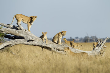 Lioness and Cubs Standing on Dead Tree, Chobe National Park, Botswana