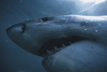 South Africa, Close-Up of Great White Shark