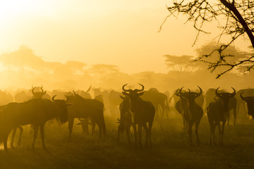 Herd of wildebeests silhouetted in golden dust made by the evening sun reflecting off the dust from their migration