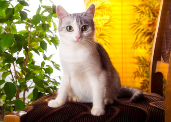 Cat gray with white color is at home on a yellow background