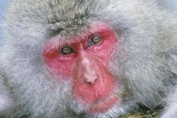 Snow Monkey, Japanese Macaque, (Macaca fuscata)