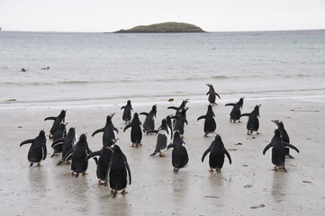 Gentoo penguins, Carcass Island, Falkland Islands, South America