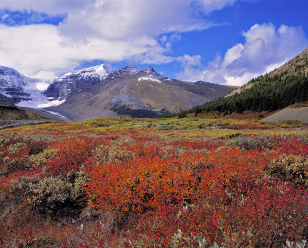 Canada, Alberta, Banff NP. Huckleberries bloom deep crimson near the Columbia Icefields, a World Heritage Site, Alberta, Canada.