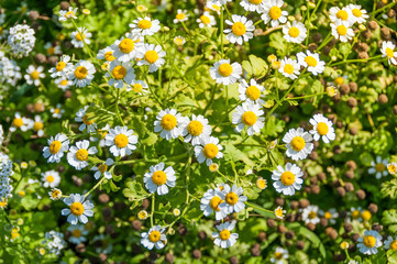 Camomile daisy meadow background