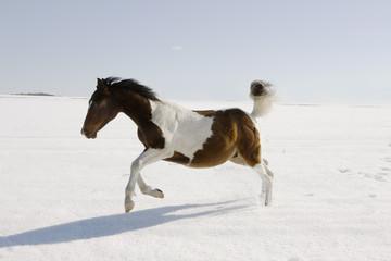 Horse running in snow