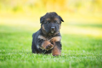 Little german shepherd puppy running on the grass