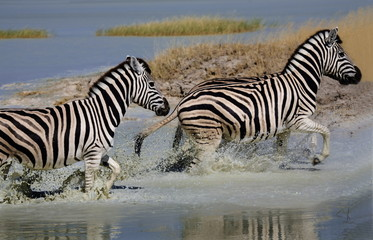 Zebra (Equus burchelli) running through water, Etosha National Park, Namibia, Africa