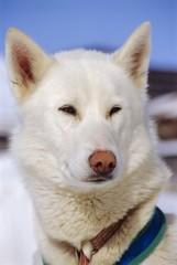 White husky dog, Alps, France