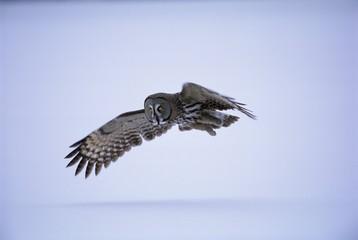 Great grey owl (Strix nebulosa) in flight, Finland, Scandinavia, Europe