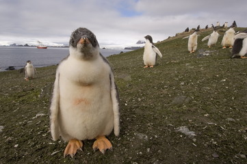 Gentoo penguin, Aitcho Island, South Shetland Islands, Antarctica, Polar Regions