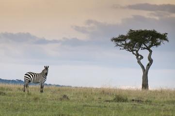 Common zebra (Equus quagga), Masai Mara National Reserve, Kenya, East Africa, Africa
