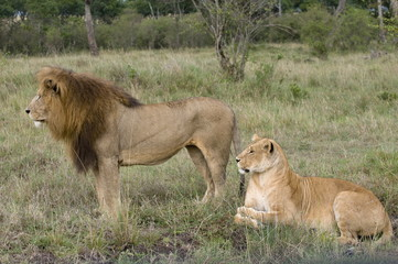 Pair of lion in grass field