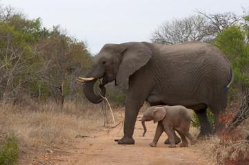 Elephant (Loxodonta africana), Kapama Game Reserve, South Africa, Africa