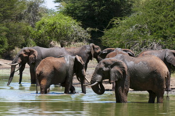 Elephants (Loxodonta africana), Lualenyi Game Reserve, Kenya, East Africa, Africa