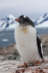 Gentoo penguin chick (Pygoscelis papua papua), Port Lockroy, Antarctic Peninsula, Antarctica, Polar Regions