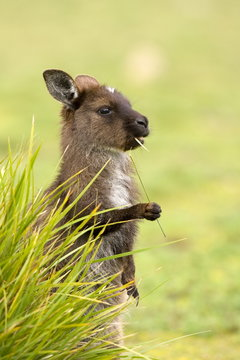 Kangaroo, (Macropus fuliginosus), Flinders Chase N.P., Kangaroo Island, South Australia