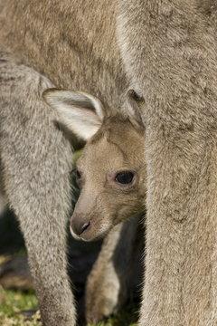 Eastern Grey Kangaroo, (Macropus giganteus), Pebbly Beach, Marramarang N.P., New South Wales