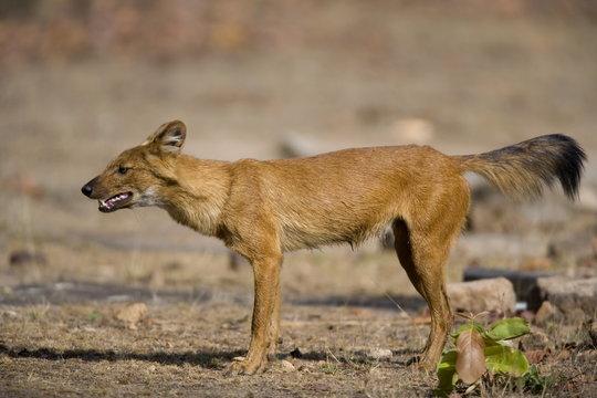 Dhole/Wild Dog, (Cuon alpinus), Bandhavgarh N.P., Madhya Pradesh