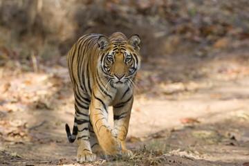 Bengal tiger (Panthera tigris tigris), Bandhavgarh, Madhya Pradesh, India