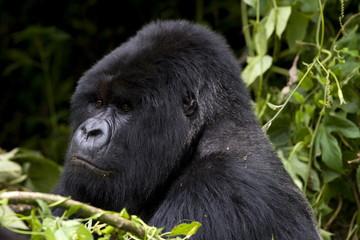 Mountain Gorilla (Gorilla gorilla beringei) silverback, Kongo, Rwanda, Africa