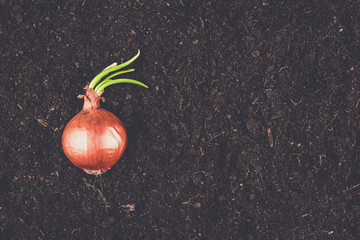 Wall Mural - onion with fresh sprouts on the soil background