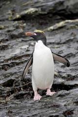Macaroni penguin (Eudyptes chrysolophus), Royal Bay, South Georgia, Polar Regions