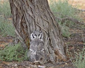 Verreaux's eagle owl (giant eagle owl) (Bubo lacteus), Kgalagadi Transfrontier Park, encompasing the former Kalahari Gemsbok National Park, South Africa, Africa